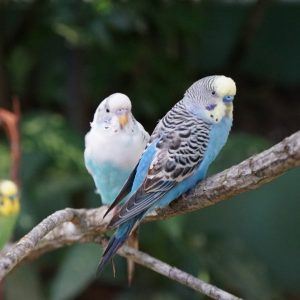 White-blue Budgerigars perched on a tree trunk