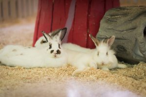 Rabbits idle at Rabbit Wonderland in the Petting Zoo at The Lost World of Tambun