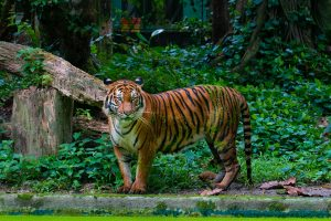 A Tiger scouting its premises in Zoo Negara