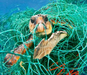 Loggerhead Turtle gets trapped in an abandoned fishing net