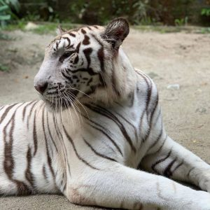 A White Tiger resting at Sunway Lagoon Wildlife Park